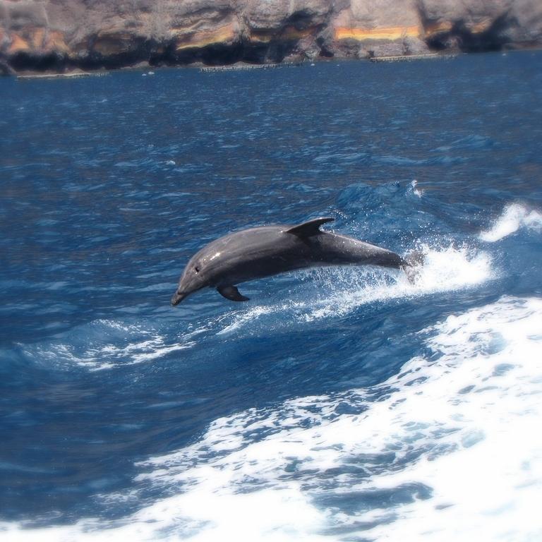 Les dauphins apprécient les eaux des îles Canaries