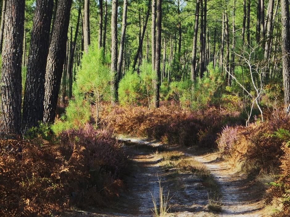 Vue de la forêt des Landes.