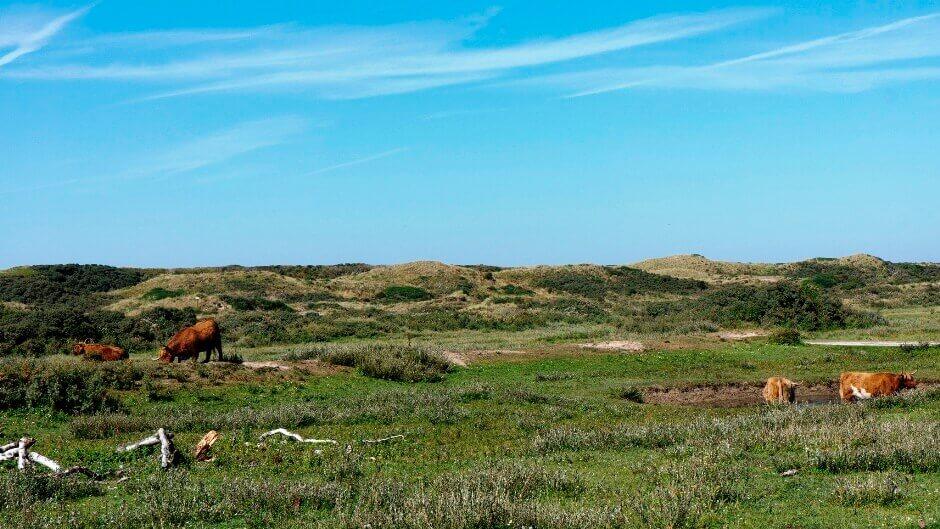 Vaches dans un paysage dunaire aux Pays-Bas.