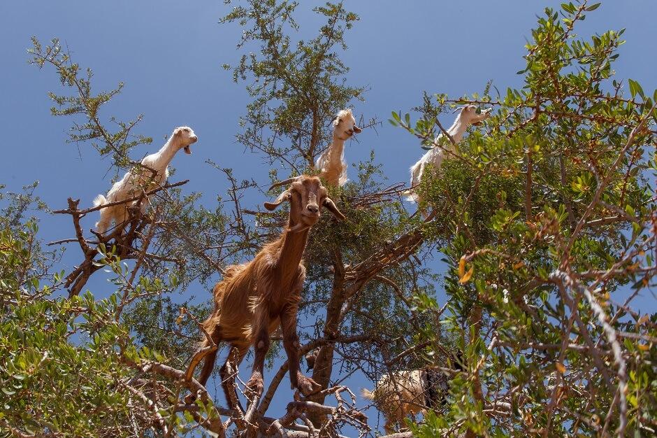 Chèvres perchées dans un arbre au Maroc.