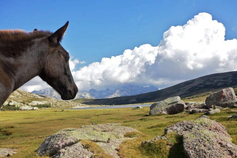 Vue d'un cheval regardant une pelouse de montagne en Corse.
