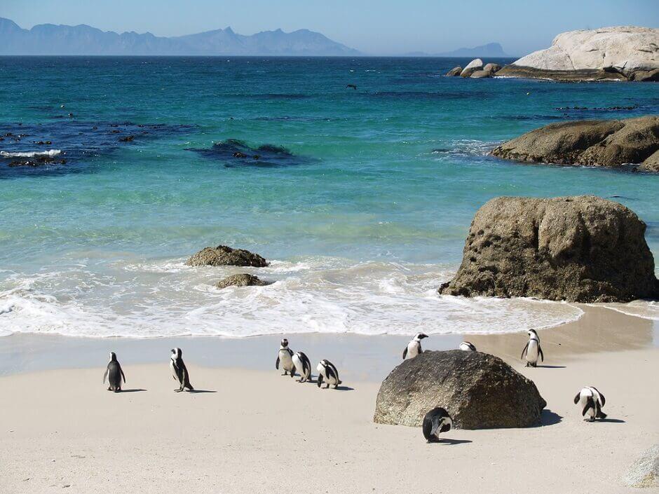 Vue de pingouins marchant sur une plage en Afrique du Sud.