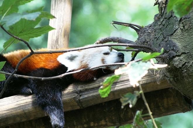 Vue d'un panda du zoo de Lille.