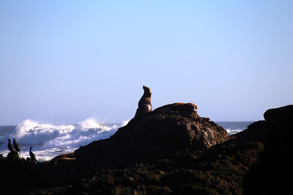 Phoque sur la Lost Coast en Californie USA.