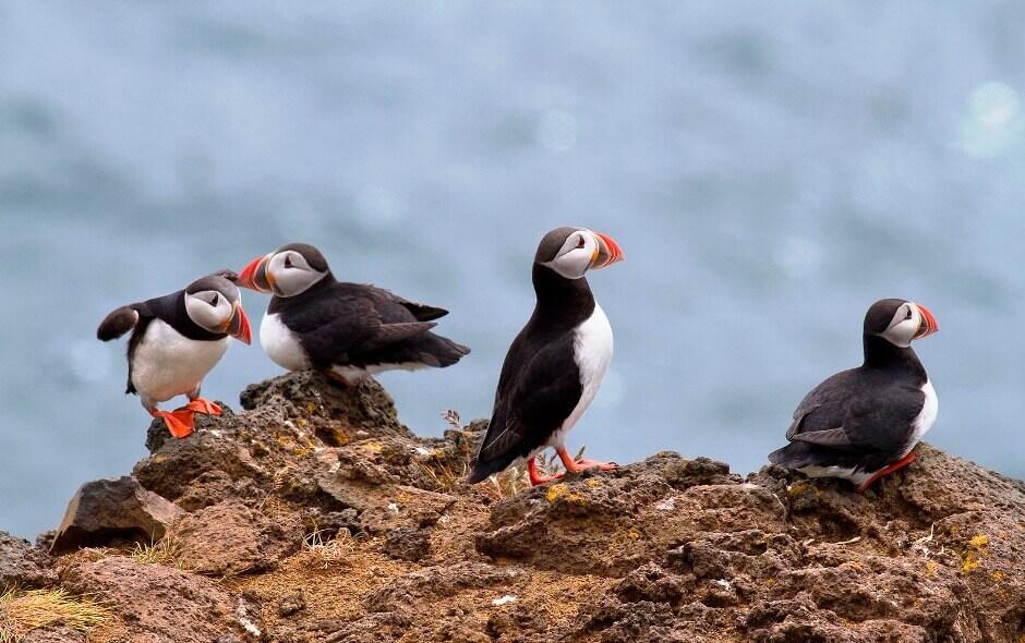 Oiseaux des îles Lofoten en Norvège.