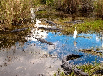 Alligators en Floride.