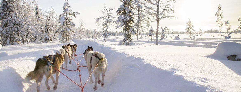Chiens de traîneau en Laponie.