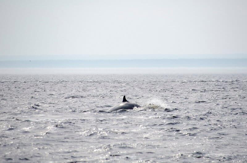 Baleine au Canada.
