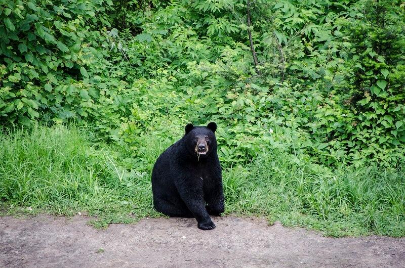 Un ours brun au Canada.