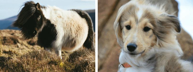Poney et chien Shetland.