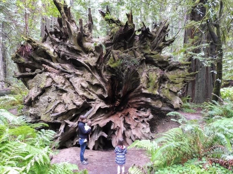Racines géantes d'un arbre aux USA.