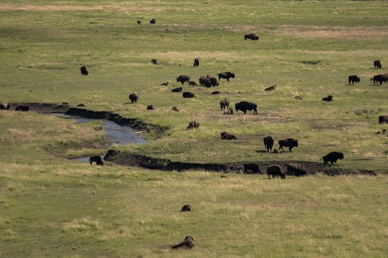 Un troupeau de bisons dans le parc national de Yellowstone.