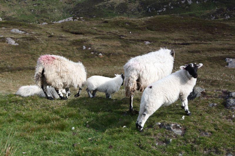 Troupeau de moutons en Irlande.
