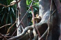 Singe dans la mangrove
