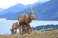 Caribous du Parc provincial sauvage des Caribou Mountains
