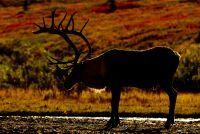 Caribous du Wabakimi Parc Provincial