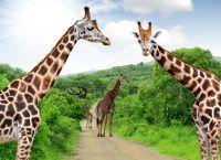 Girafes sur un chemin du Parc Kruger